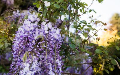 Wisteria Inspiration For Weddings