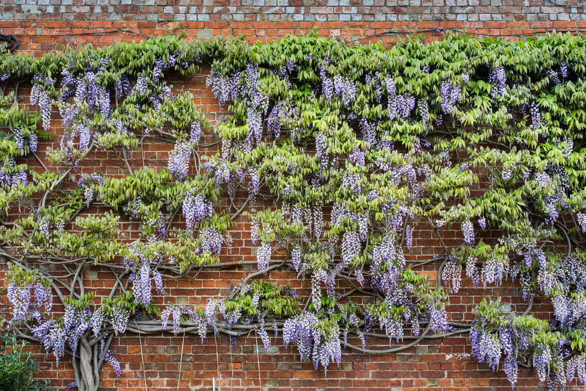 Wall of Wisteria - Ideas for Wedding Decor